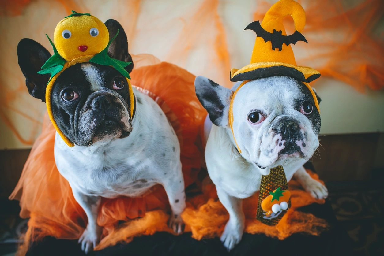 French bulldogs in halloween costumes