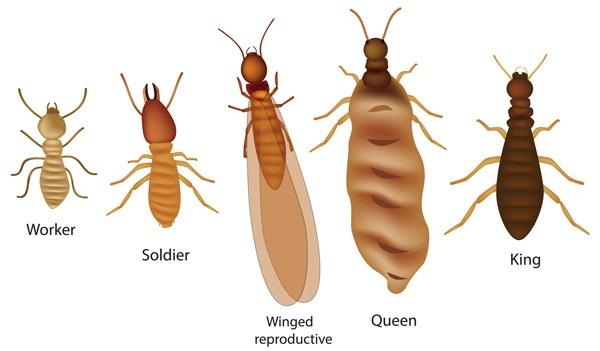 Eastern subterranean termite illustration chart