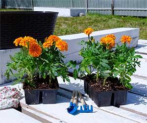 Marigold flowers in a garden - Blue Beetle Pest Control