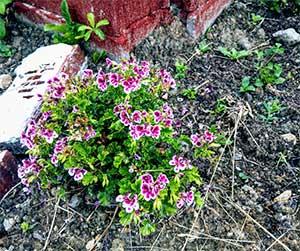 Scented Geranium Flowers - Blue Beetle Pest Control