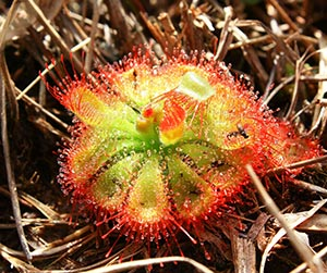 sundew plant