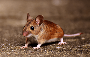a Deer Mouse, much bigger in size than a house mouse.