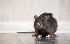 Norway rat on hard wood floor