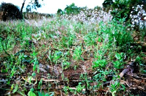 Masala field with chankharamu weeds swaying in the breeze.