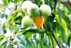 Getting a ripe mango atop a tall tree is a source of adventurous excitement for the soul of friendship for young boys.