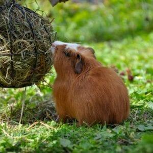 Small Animal Hay