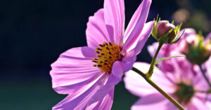 A photo of a pink cosmos flower.