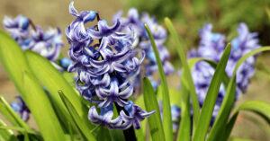 A photo of purple hyacinths.