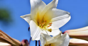A photo of a white lily.