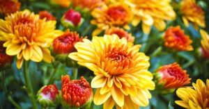 A photo of orange and yellow mums.