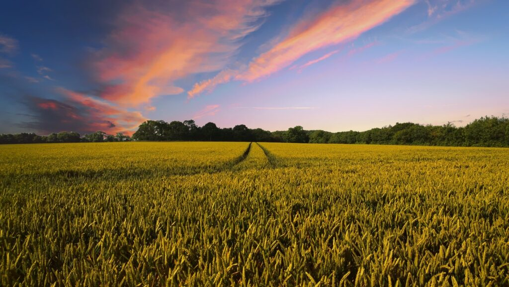field of crops at sunset