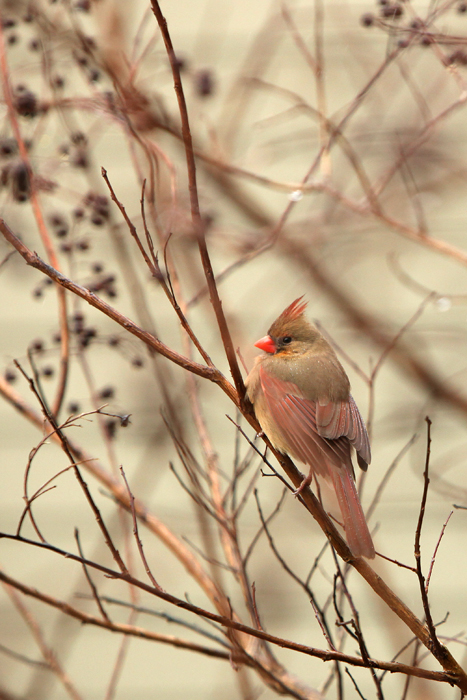 Feb. 4, 2014 -- Cardinals on a rainy day. (Photo by Tricia Coyne)