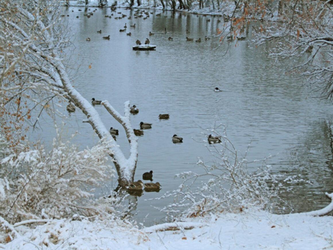 1.26.2021 ducks on the pond en az IMG_6428