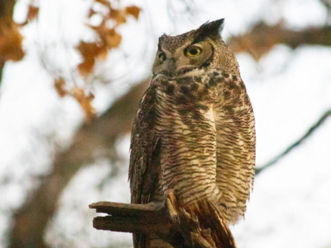 IMG_0104 owl in preserve