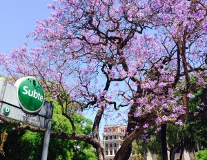 Blossoms in Buenos Aires