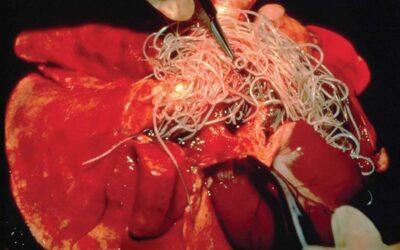 HEARTWORM DISEASE