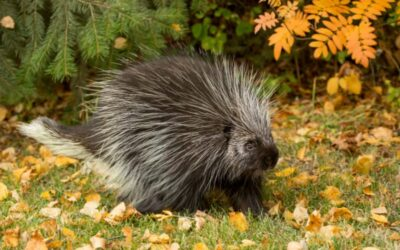 Porcupine Quills and Dogs