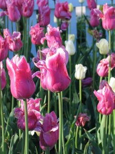 Masses of gorgeous tulips greet visitors in Holland, MI in May