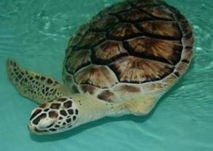 Meet Allison, an Atlantic sea turtle at a sanctuary on South Padre Island. (Sea Turtle Inc photo)