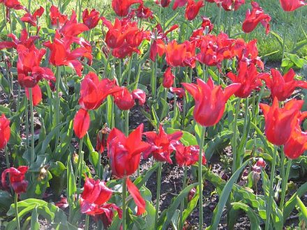 Tulip Time is almost here in Holland, Mi. (J Jacobs photo)