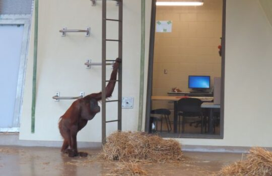 An orangutan climbed down from his perch to try a computer game with a scientist at the Indianapolis Zoo. (J Jacobs photo)
