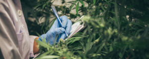 Cannabis pathogen testing
