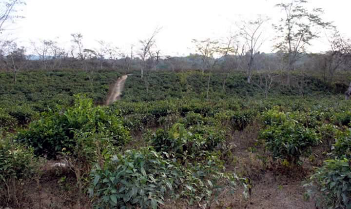 Jiribam Tea Estate will be Shrunken on Account of Recent State Cabinet Decision Which Went Against BJP Manipur's Vision Document of 2017