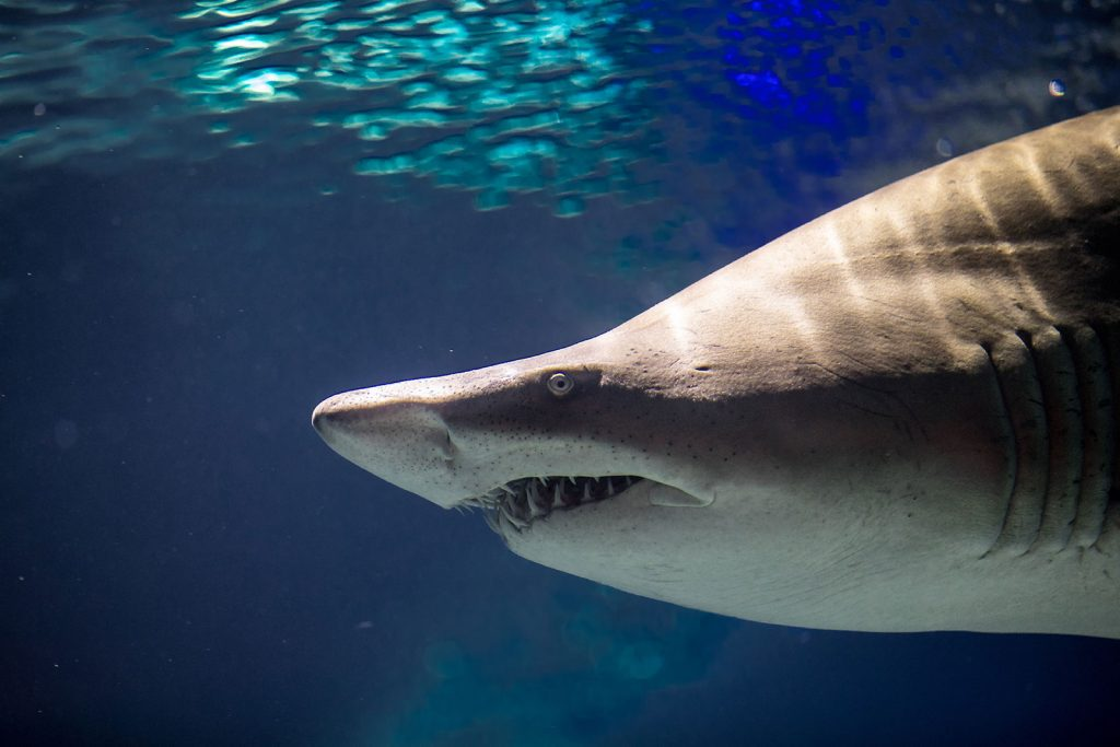 Photo of a sand tiger shark at the Greater Cleveland Aquarium