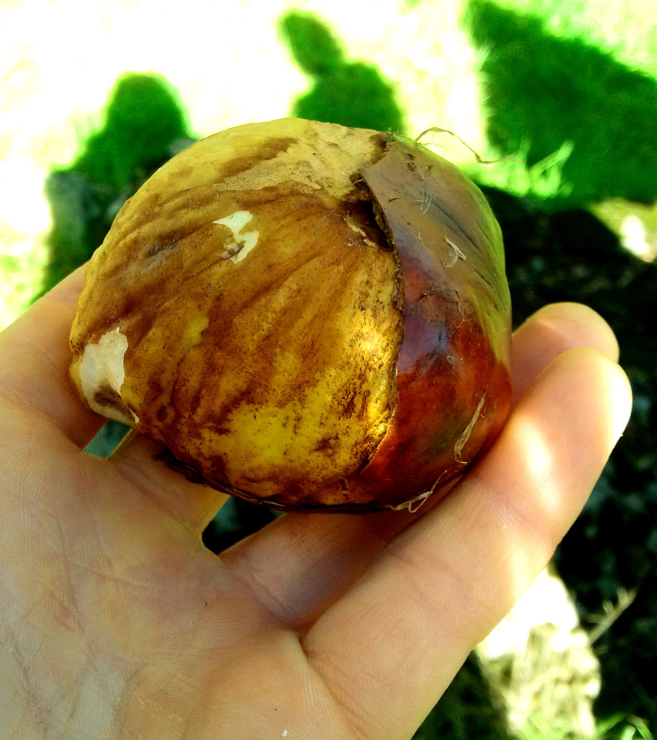 California Buckeye large abundant nut food source -1 (1)