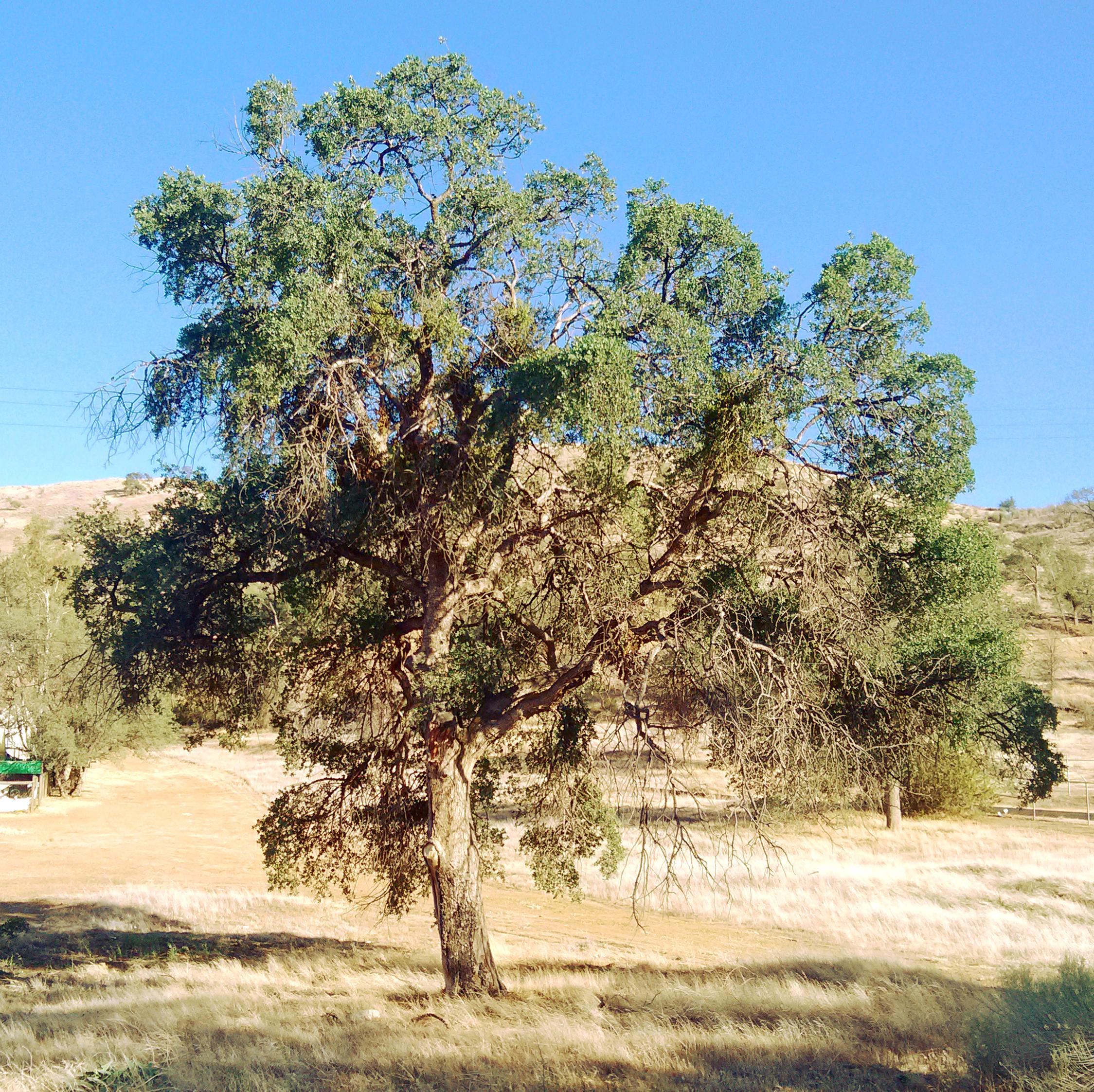 Oak whole tree