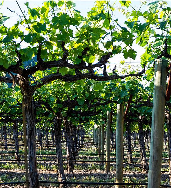 Vines Growing - DFV