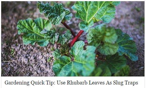 Rhubarb Slug Traps