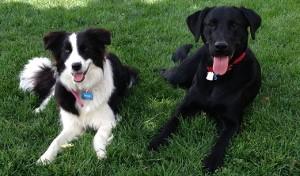 Border Collie and Black Lab receive advanced dog training.