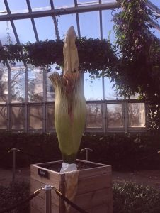 Spike the a corpse flower is in the semitropical greenhouse at the Chicago Botanic Garden the last weekend of April 2018. (Photos by Jodie Jacobs)