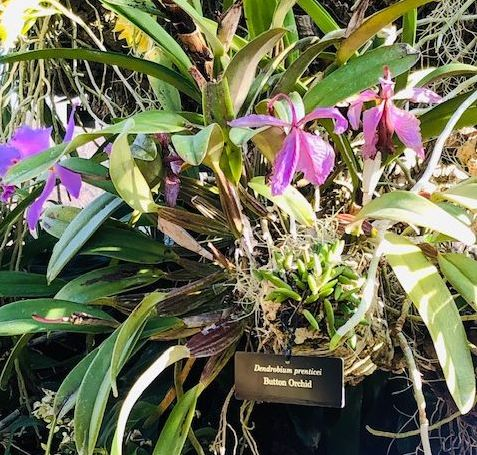 Orchid in Chicago Botanic Garden Greenhouse. (phto by J Jacobs)