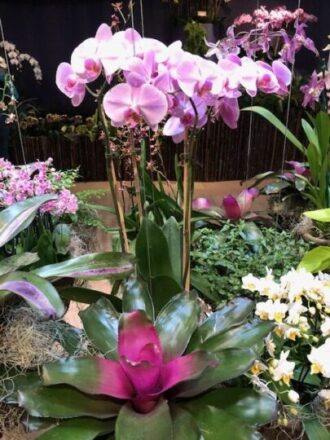 Bright bromeliad complements delicate orchids in entrance to the Chicago botanic garden show. (J Jacobs photo)