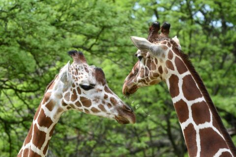 Brookfield Zoo to reopen. (Photo courtesy of Chicago Zoological Societyh)