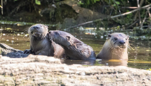 North American river otters in Cook County (Photo by Peter Pekarek)