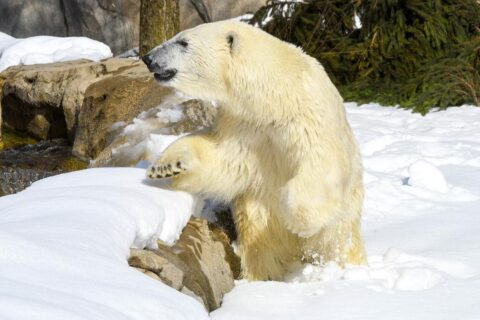 Hope, a 5-year-old polar bear recently arrived at Brookfield Zoo (Photo by Jim Schulz for CZS)