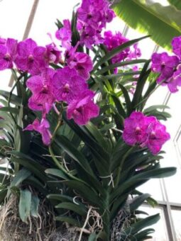 Orchids make a lovely Mother's Day gift. (J Jacobs photo)