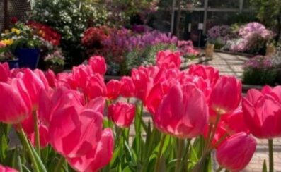 Lincoln P:ark Conservatory's Spring Flower Show opens on Mother's Day. (Photo courtesy of Lincoln Park Conservatory)_