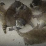 Wisconsin Raccoon Control-Baby Raccoon Removal