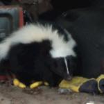Wisconsin skunk