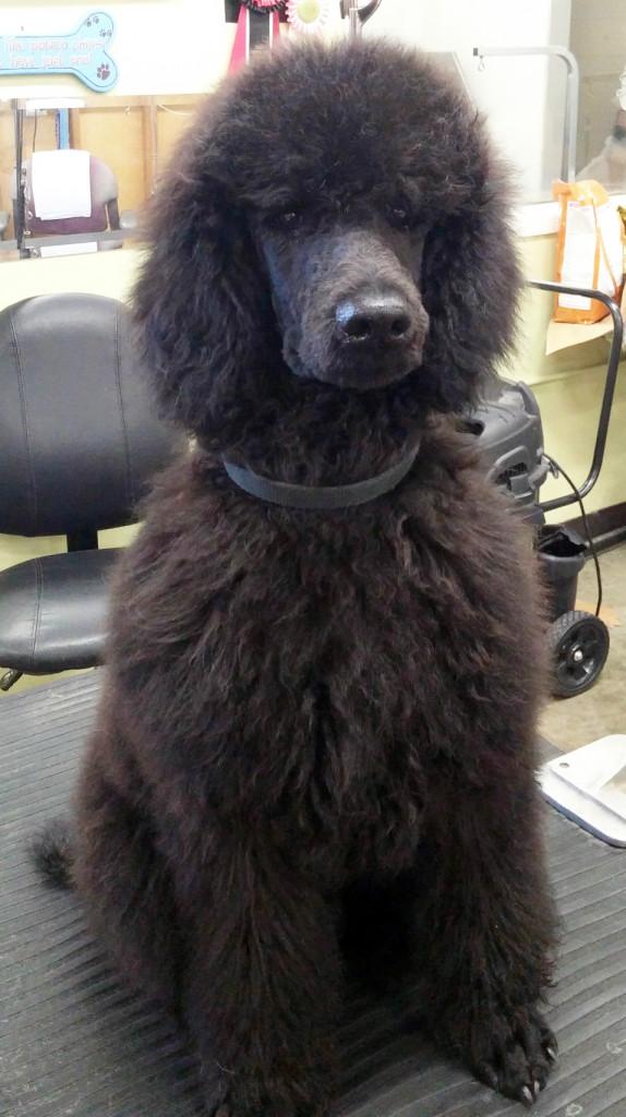 Standard Poodle for Sale