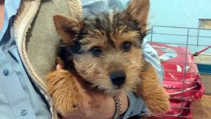 Norwich-Male_Pup-sm