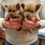 Impressive Kennels, 5 weeks, Norwich, Puppies, Terriers