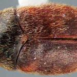 Khapra Beetle – New Biosecurity Measures in Place
