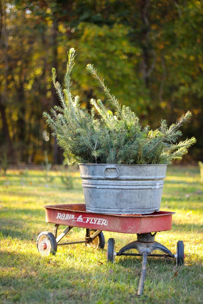 small_christmas_tree_farm