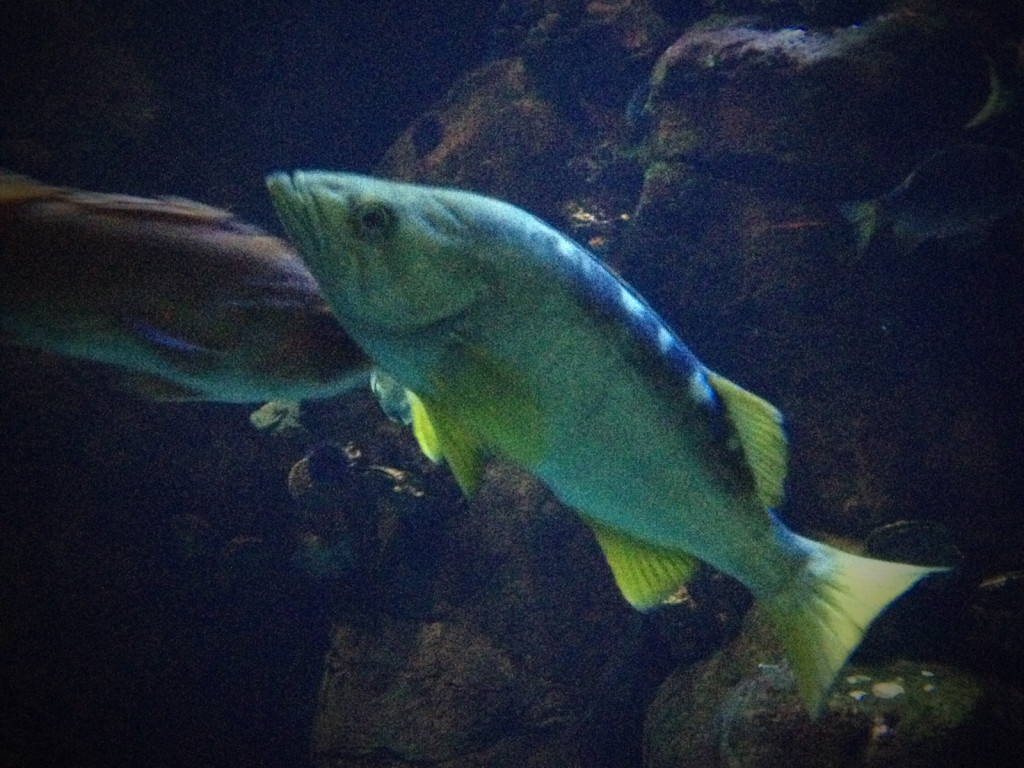 A yellowtail rockfish (Sebastes flavidus), one of the top commercial rockfish species from British Columbia, and a possible identity for our anonymous fillet. Photographed at the Steinhart Aquarium, California Academy of Sciences. Photo © Ben Young Landis.