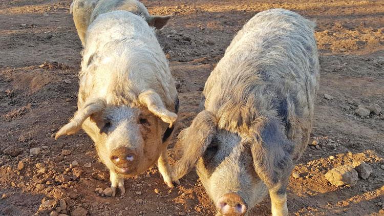 "Mangalitsa Old Spot Cross -- dubbed the ""Kobe beef of pork"" Photo Credit, Katrina Carroll."